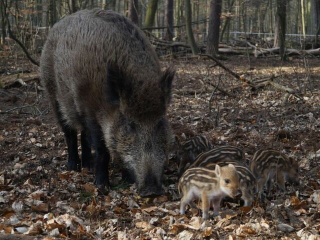 The picture shows a wild boar with it's young.